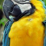 Perroquet au corps jaune