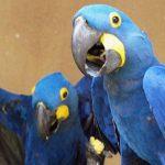 Aras bleus de Peliatan