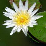 Fleur de lotus à Tanha Lot