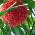 Fleurs en grappes de bougainvillée