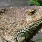 Iguane - Parc de Peliatan