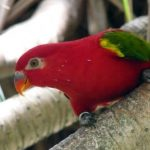 Oiseau du Paradis à Peliatan