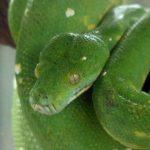 Python vert à Bali