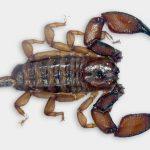 Scorpion trouvé dans ma chambre