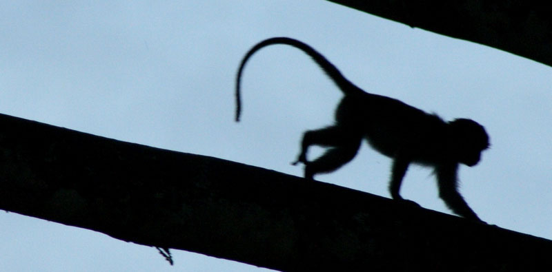Les singes de la Monkey Forest