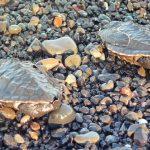Conservatoire des tortues de Saba - Bali