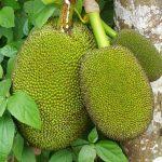 Le fruit Nangka