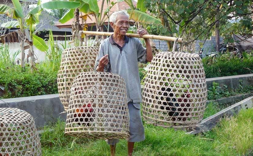 Transport des coqs à Sidemen