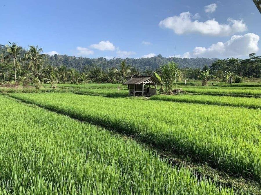 Les rizières de Sidemen